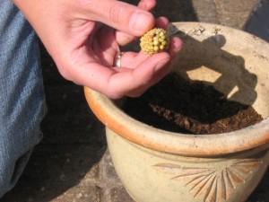 Voeg per plant 1 voedingstablet aan de potaarde toe