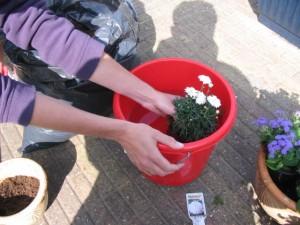 Dompel de plant met de kluit in een emmer water