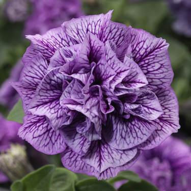 Hangpetunia uit stek met dubbele bloem, paars geaderd