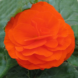Begonia Swing Orange