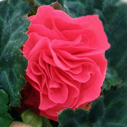 Begonia Pink Shades