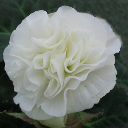 Begonia Swing White