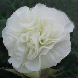 Begonia Swing White