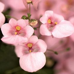 Light Pink Dala