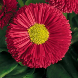 Bella Daisy Red