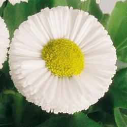 Bella Daisy White