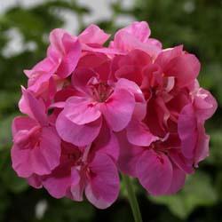Temprano Deep Pink