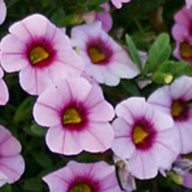 Kleinbloemige petunia uit stek met licht rose bloem met rood oog