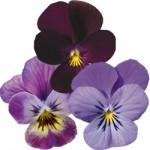 Pink Shades, Pure Violet, Lavender