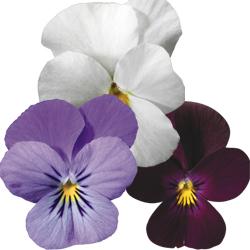Lavender, White, Pure Violet