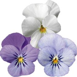 Lavender, White, Sky Blue Martin