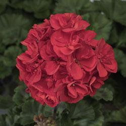 Tango Velvet Red