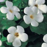 Bacopa Cabana White