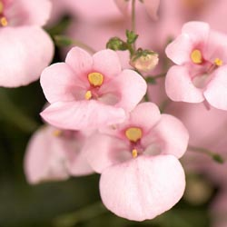 Diascia Light Pink Dala