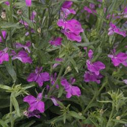 Techo Lilac