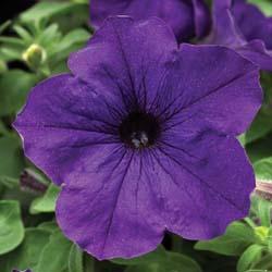 Sanguna Cobalt Blue