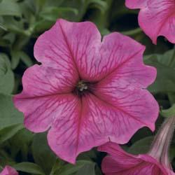 Sanguna Hot Rose Vein