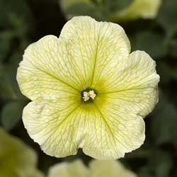 Sanguna Pastel Yellow