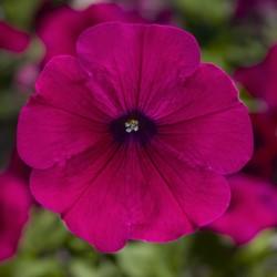 Sanguna Purple