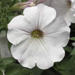 Sanguna White Vein