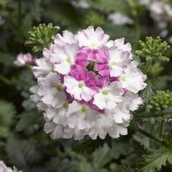 Lanai Twister Cherry Blossom