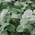 Helichrysum Blue Green