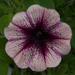 Famous Violet Dark Eye