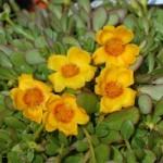 Portulaca Yellow