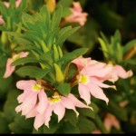 Scaevola Fancy Pink