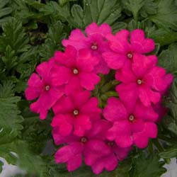 Magelana Hot Rose