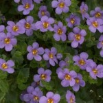 Bacopa Scopia Great Blue