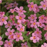 Bacopa Scopia Great Pink