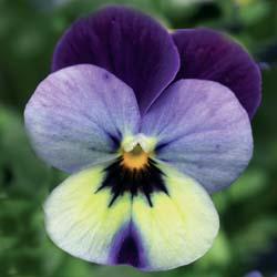 Blue Yellow Purple Wing