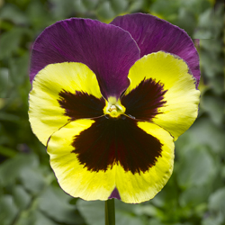 Delta Yellow and Purple