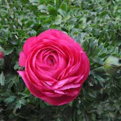 Ranonkel Rose