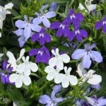 Lobelia Trixi Blue Fashion