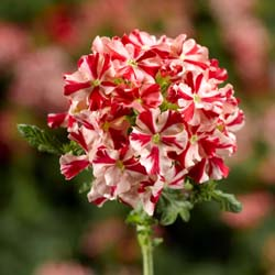 Verbena Magelana Red Star