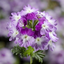 Magelana Twister Purple