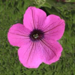 Sangunita Deep Lavender