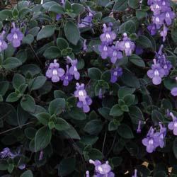 Streptocarpus Blue