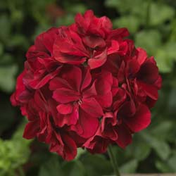 Temprano Dark Red