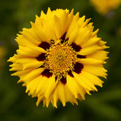 Coreopsis Grand. Andiamo Yellow Red