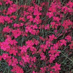 Dianthus Deltoides Leuchtfunk
