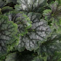 Heuchera Marvelous Marble SIlver