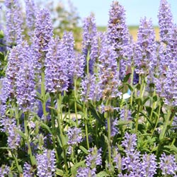 Nepeta Nervoza Blue Carpet