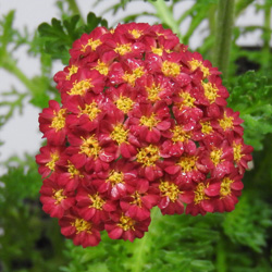 Achillea Mill Desert Eve Red