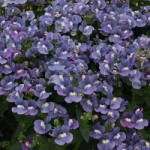 Nemesia Blue Rose Bicolor