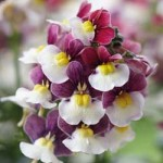 Nemesia Painted Rose