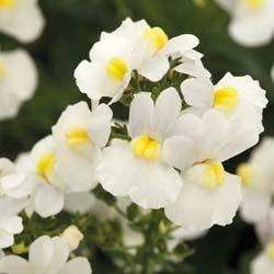 Nemesia White Perfume
