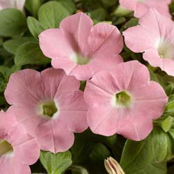 Dekko Bright Pink